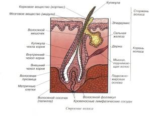 Структура волоса сосочек папилла