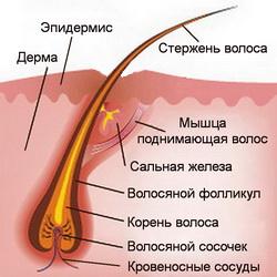 составные части волоса