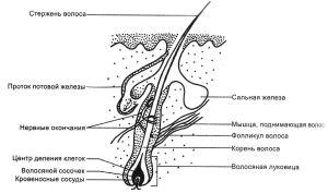 Структура волоса