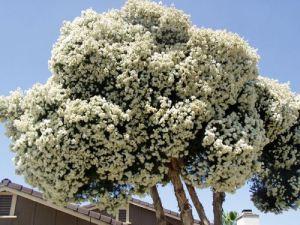 дерево мелалеука