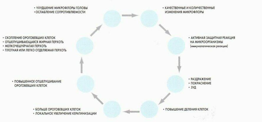 Цикл образования перхоти