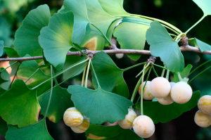 Полезные свойства и противопоказания гинкго билоба