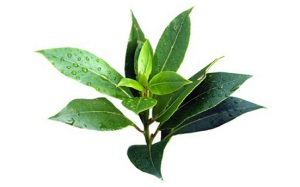 листья  чайного дерева